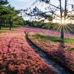 Cánh đồng cỏ hồng – nơi không thể thiếu trong bộ ảnh cưới tại Đà Lạt