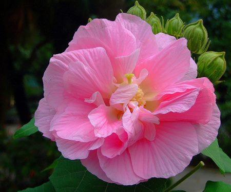 không nên dùng hoa phù dung trong trang trí gia tiên